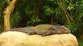 Big monitor lizard — Stock Photo