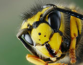 Head of wasp — Stock Photo