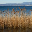 Reeds on the edge of a lake — Stock Photo