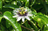 Passiflora edulis forma flavicarpa flower — Stock Photo
