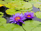 A beautiful purple waterlily or lotus flower — Stock Photo