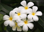 Close up of frangipani flower or Leelawadee flower on the tree — Stock Photo