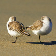 A pair of sleeping sanderlings, calidris alba — Stock Photo