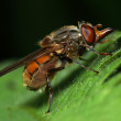 A hover fly, rhingia campestris — Stock Photo