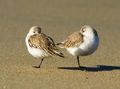 A pair of sleeping sanderlings, calidris alba — Stock Photo