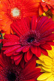 Gerbera flowers close up with water drops — Stok fotoğraf