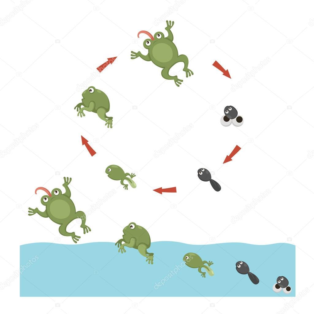 V Frog Download Life cycle of Frog —...
