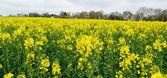 Campo de colza amarillo flor, reino unido — Foto de Stock