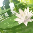 Floating waterlily — Stock Photo
