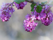 Purple flowers on branch, high key with blurred background — Stock Photo