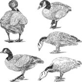 Sketches of geese — Stock Vector