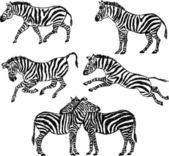 Zebre — Vettoriale Stock