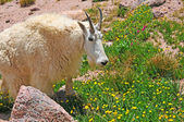 Mountain Goat in the Rocky Mountains — Stok fotoğraf