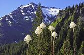 Beargrass flowering at Mount Rainier National Park, Cascade Mountains, Washington State, USA — Stock Photo