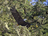 Bald Eagle in forest — Stock Photo