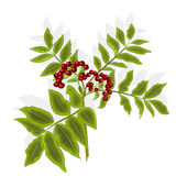 Twig rowan berry with leaves and berries vector — Stock Vector