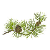 Pine branch whit pinecones vector illustration — Stock Vector