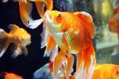 Fish in aquarium — Stock Photo