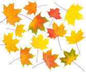 Collection of autumn maple leaves — Photo