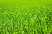 Green grass field — Foto Stock