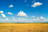 Field with harvest — Stock Photo