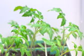 Tomato organic seedlings at the spring — Stock Photo