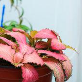 Pink Fittonia foliage — Stock Photo