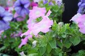 Petunia pink — Stock Photo