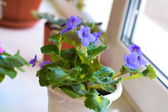Purple violets on the windowsill — ストック写真
