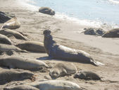 Elephant seals colony — Stock Photo