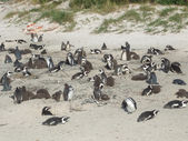 Cape Town penguins — Stock Photo