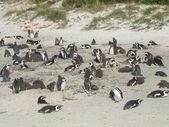 Cape Town penguins — Stock Photo