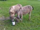 Asno burro — Foto de Stock
