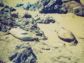 Retro look Elephant seals colony — Stock Photo