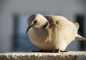 Pigeon — Stockfoto