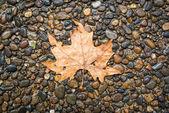 Maple leaf on floor — Stockfoto
