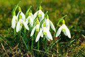 Spring snowdrops — Stock Photo