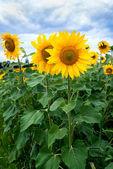 Sunflower field under blue sky — Stock Photo