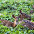 Cute fawn resting with mother in forest — Stock Photo