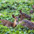 Cute fawn resting with mother in forest — Stock Photo #43498519