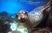 Sea lion underwater closeup looking at camera — Stock Photo