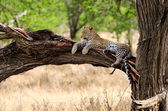Leopard, Serengeti National Park — Stock Photo