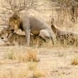 Lions Mating in the Wild — Stock Photo