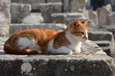 Cat, Ephesus Ruins — Stock Photo