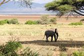 Elephant, Lake Manyara National Park — Stock Photo