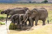 Elephants, Serengeti — Stock Photo