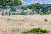Lioness & Cubs, Serengeti National Park — Stock Photo