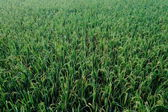 Green ricefields — Stock Photo