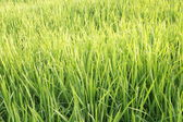Ricefields — Stock Photo