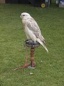 A gray falcon — Stock Photo